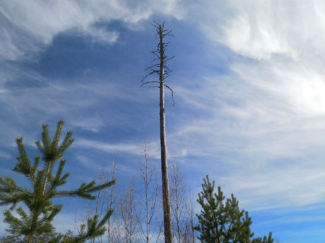 Huomattava puu