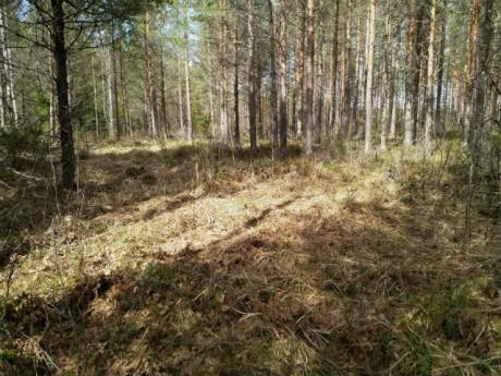Metsäheinää